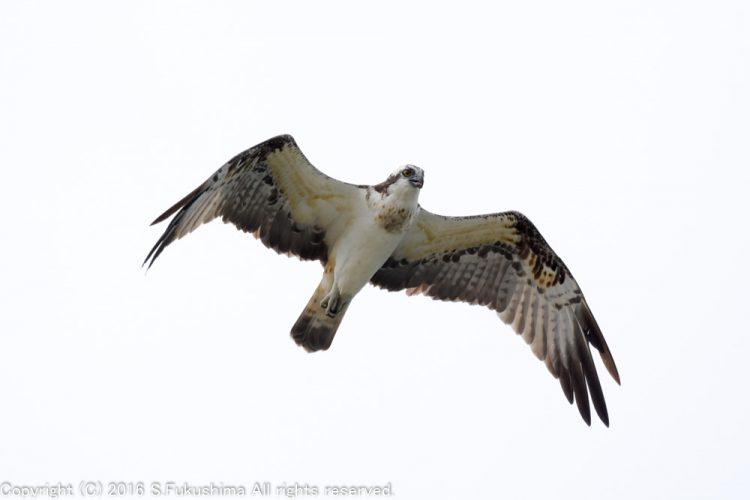 ミサゴ 飛翔