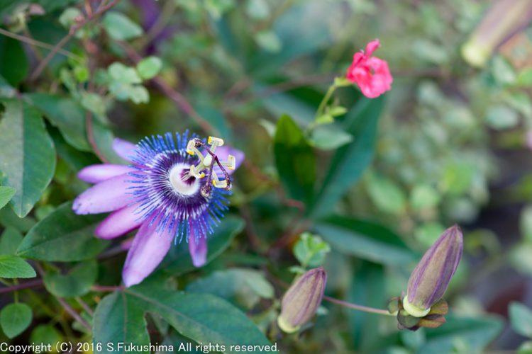庭の花 トケイソウ