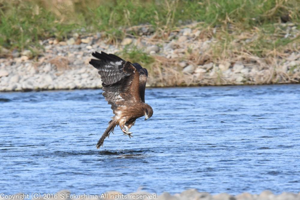 トビ 魚を獲る